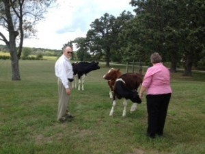 Loose cattle cause a stir at local polling place
