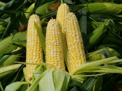 Sweet corn boosts state economy by nearly $130 million